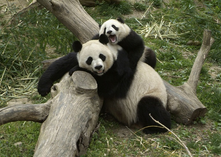 Giant pandas bond at the Smithsonian Institute's National Zoo. Photo