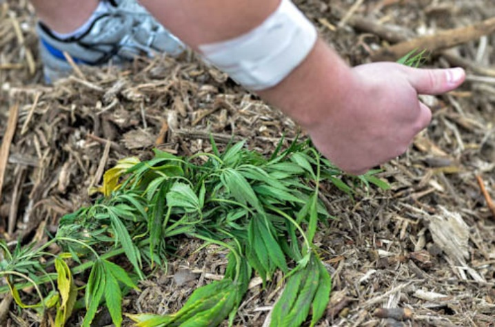 ... adults over 21 buy taxed, inspected marijuana at state-licensed shops