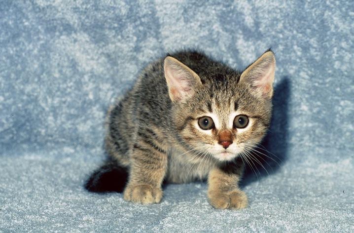 essay on domestic animal cat