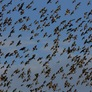Birds Tumbling From the Sky; Mass Fish Kills: How Unusual Are These Die-Offs?