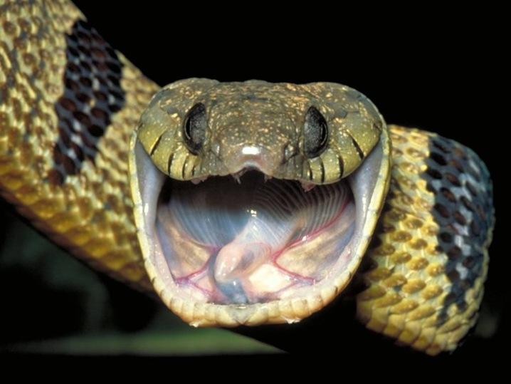 Blanding's Tree Snake
