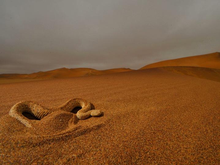 Peringuey's Desert Adder