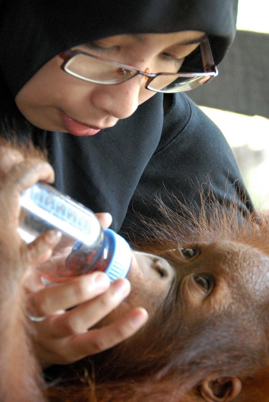Thirsty Orangutan