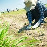 Cotton Replaces Rice in Japan's Salt-Soaked Fields