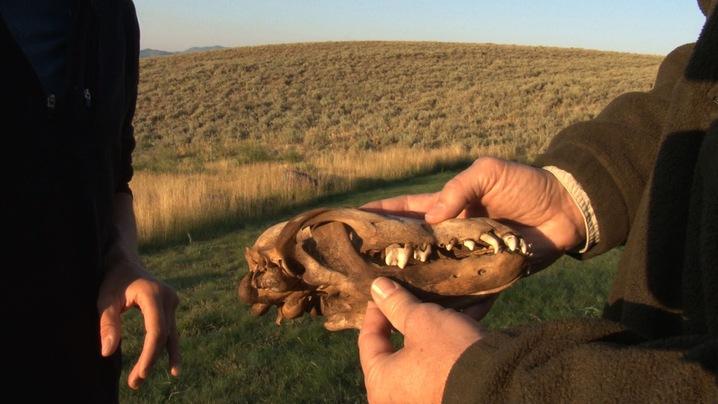 Wolf Pup Skull