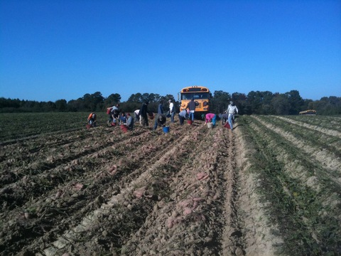 Sweet potato pickers in Alabama