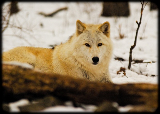 A Wolf at Lakota Wolf Preserve, Columbia, NJ. Photo by flicr user RickyNJ.