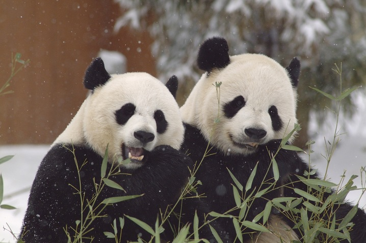 Mei Xiang and Tian Tian