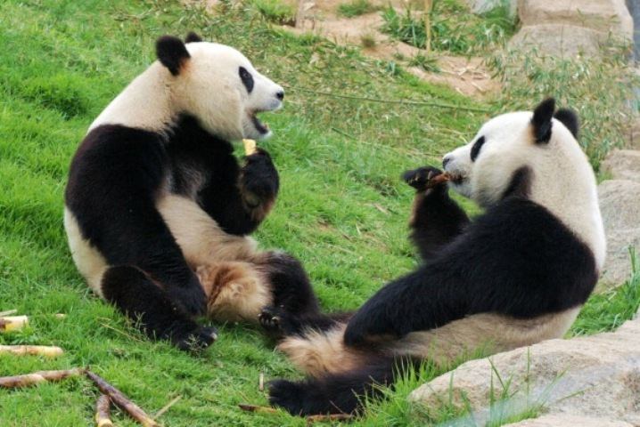 A Positive Future for Pandas