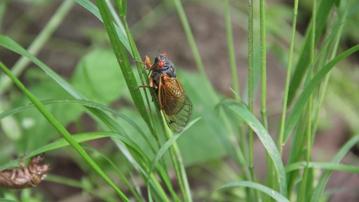 Cicada Sighting! Bug-Eyed Critters Emerging in Northern Virginia