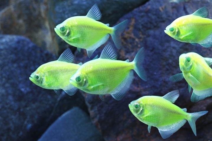 GloFish