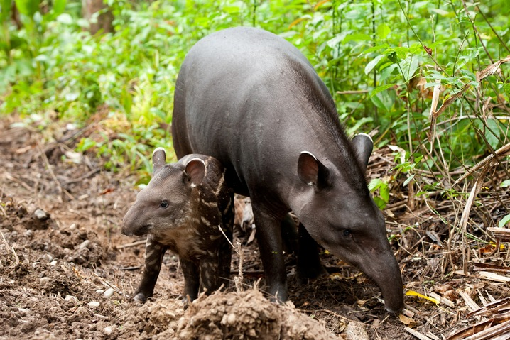 Tapir and her Young