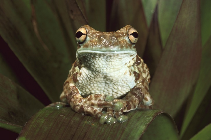 Broad-headed Tree Frog